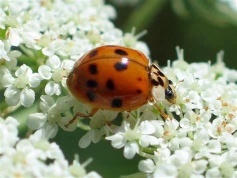 asian beetle allergy jpg 678x508